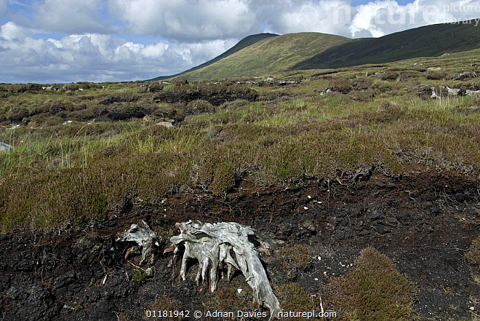 Bog Oak (Quercus sp.). Remains of ancient oak trees revealed by peat digging. Achill Island, County Mayo, Ireland  ,  DICOTYLEDONS,EIRE,EUROPE,FAGACEAE,IRELAND,LANDSCAPES,PEAT BOG,PLANTS,TREES,TREE STUMPS  ,  Adrian Davies