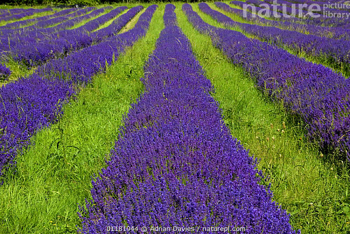 Lavender (Lavandula angustifolia 'Folgate') field in Surrey, England, UK, 2007, AGRICULTURE,AROMATIC,CROPS,DICOTYLEDONS,ENGLAND,EUROPE,FARMING,FLOWERS,HERB,HORTICULTURE,LAMIACEAE,LINES,PATTERNS,PLANTS,PURPLE,STRIPES,UK,UNITED KINGDOM,British, Adrian Davies