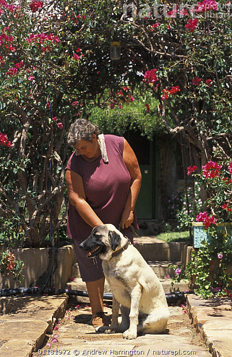 White farmer with Anatolian Shepherd (Canis familiaris) dog. Namibia. East Africa. Ref: Cheetah Conservation Fund  ,  BIG CATS,canis familiaris,CARNIVORES,CHEETAHS,CONSERVATION,DOGS,EAST AFRICA,guard dog,MAMMALS,namibia,PEOPLE,VERTEBRATES,VERTICAL,Africa  ,  Andrew Harrington