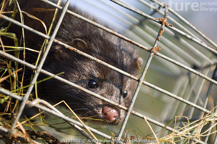 American mink (Mustela vison) caught in Mink trap. Oxfordshire, England, UK.  ,  alien species,CARNIVORES,ENGLAND,EUROPE,MAMMALS,MUSTELIDS,oxfordshire,pest control,predator,TRAPPING,UK,united kingdom,VERTEBRATES,WEASELS,British  ,  Andrew Harrington