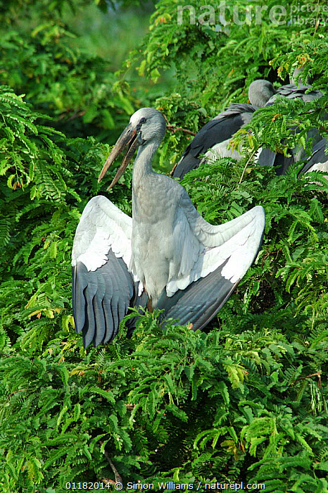 Asian / Open billed stork {Anastomus oscitans} with wings open basking in the morning sun, Jayanagar, West Bengal, India  ,  ASIA,BEHAVIOUR,BIRDS,INDIA,INDIAN SUBCONTINENT,STORKS,THERMOREGULATION,VERTEBRATES,VERTICAL  ,  Simon Williams