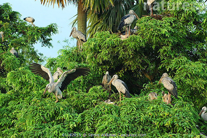A colony of Asian / Open billed storks {Anastomus oscitans} in Jayanagar, West Bengal, India  ,  ASIA,BIRDS,GROUPS,INDIA,INDIAN SUBCONTINENT,STORK,STORKS,TREES,VERTEBRATES,Plants  ,  Simon Williams