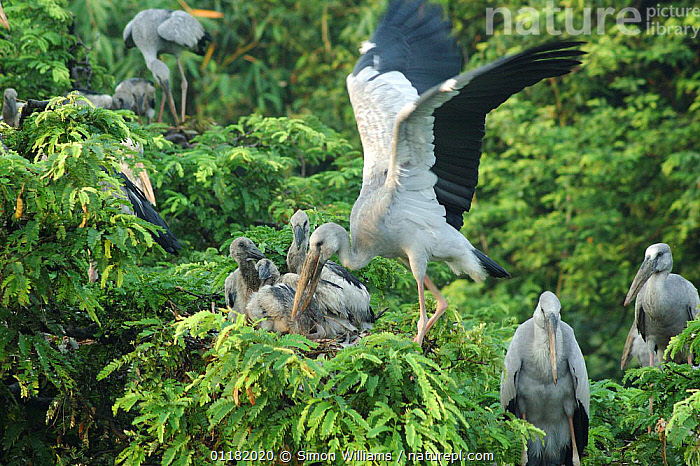 An adult open billed stork {Anastomus oscitans} brings a crop full of apple snails to its three chicks in a colony in Jayanagar, West Bengal, India  ,  ASIA,BEHAVIOUR,BIRDS,CHICKS,FAMILIES,FEEDING,GROUPS,INDIA,INDIAN SUBCONTINENT,NESTS,REGURGITATION,STORKS,VERTEBRATES  ,  Simon Williams