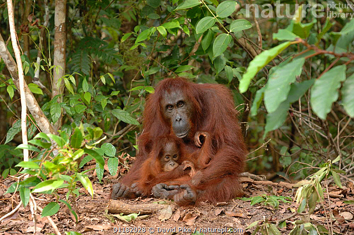 Orangutan {Pongo pygmaeus} adult with baby, Rehabilitation sanctuary, Tanjung Puting National Park, Kalimantan, Indonesia.  ,  ASIA,BABIES,FAMILIES,GREAT APES,INDONESIA,MAMMALS,MOTHER BABY,PRIMATES,RESERVE,TROPICAL RAINFOREST,VERTEBRATES  ,  David Pike