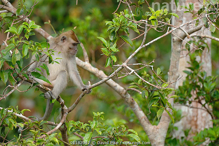 Crab eating / Long-tailed Macaque {Macaca fascicularis} in tree canopy, Tanjung Puting National Park, Indonesia  ,  ASIA,INDONESIA,MACAQUES,MAMMALS,MONKEYS,PRIMATES,RESERVE,TROPICAL RAINFOREST,VERTEBRATES  ,  David Pike