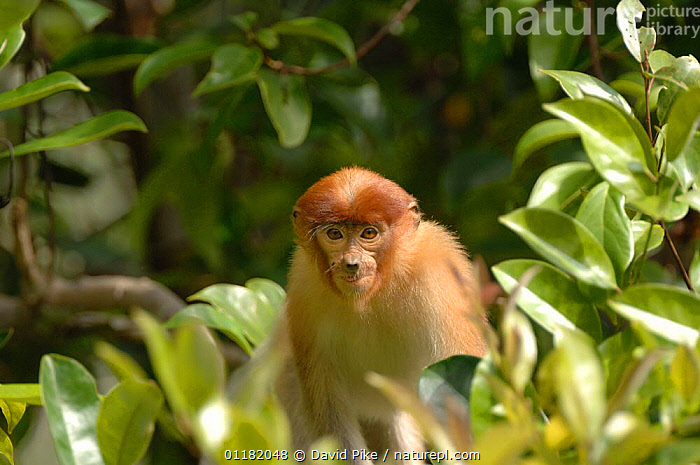 Proboscis Monkey {Nasalis larvatus} Tanjung Puting National Park, Indonesia  ,  ASIA,ENDANGERED,INDONESIA,MAMMALS,MONKEYS,PRIMATES,RESERVE,TROPICAL RAINFOREST  ,  David Pike