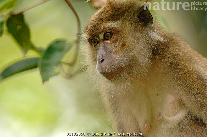 Crab eating / Long-tailed Macaque {Macaca fascicularis} Tanjung Puting National Park, Indonesia  ,  ASIA,INDONESIA,MACAQUES,MAMMALS,MONKEYS,PORTRAITS,PRIMATES,RESERVE,TROPICAL RAINFOREST,VERTEBRATES  ,  David Pike