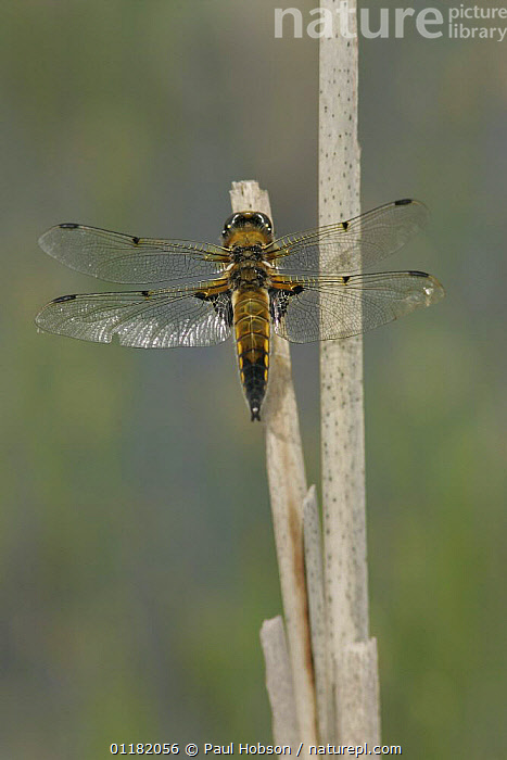 Four spotted chaser dragonfly (Libellula quadrimaculata) resting on dead reed stem, S. Yorks, UK  ,  ARTHROPODS,CHASER,DRAGONFLIES,EUROPE,INSECTS,INVERTEBRATES,ODONATA,UK,VERTICAL,United Kingdom,British  ,  Paul Hobson