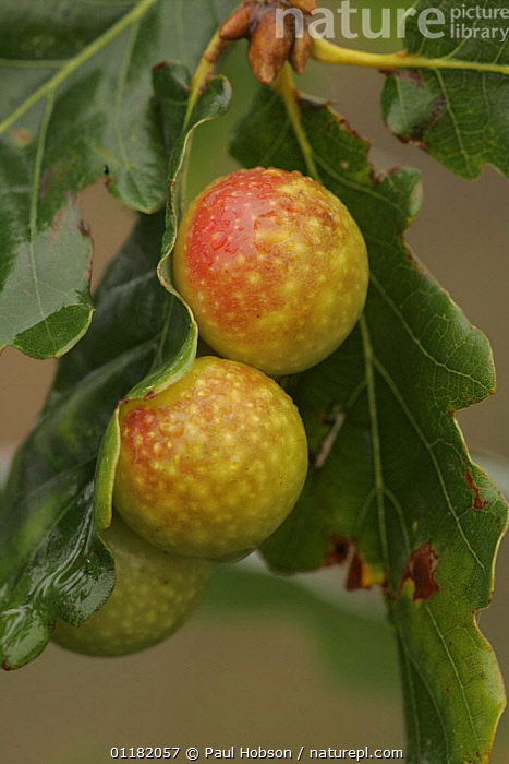 "Oak ""apples"" on Oak tree leaf (Quercus sp) caused by larva of  gall wasp, UK  ,  CYNIPIDAE,EUROPE,GALLS,INSECTS,LEAVES,PARASITES,PLANTS,UK,VERTICAL,United Kingdom,Invertebrates,British  ,  Paul Hobson"