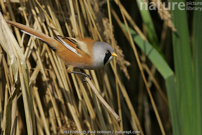 Male bearded tit (Panurus biarmicus) in reeds, Norfolk, UK  ,  BIRDS,EUROPE,PARROTBILLS,UK,VERTEBRATES,United Kingdom,British , bearded reedling, United Kingdom  ,  Paul Hobson
