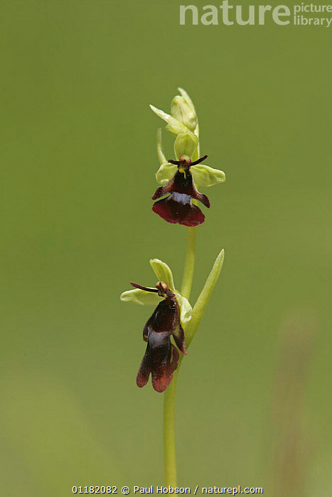 Fly Orchid (Ophrys insectifera) close up of flower, Peak District NP, UK  ,  CUTOUT,EUROPE,MIMICRY,MONOCOTYLEDONS,ORCHIDACEAE,ORCHIDS,PLANTS,RESERVE,UK,VERTICAL,United Kingdom,British,Diptera  ,  Paul Hobson