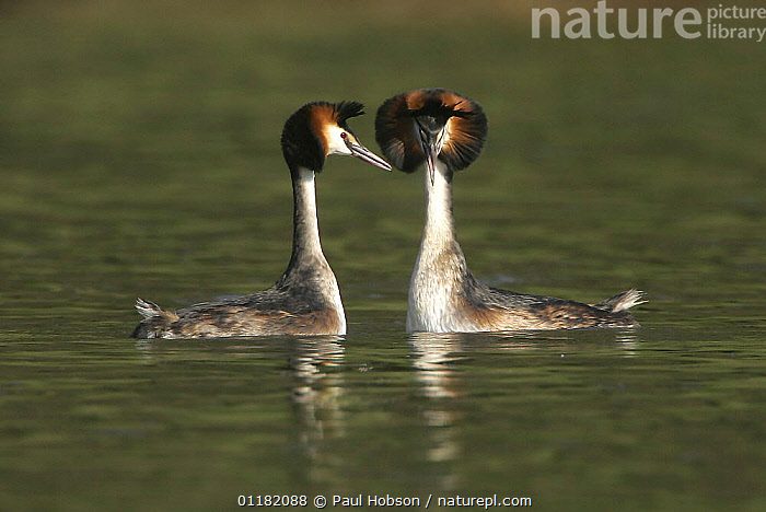 Great Crested Grebe (Podiceps cristatus) pair displaying in spring, Derbyshire, UK  ,  BEHAVIOUR,BIRDS,COURTSHIP,EUROPE,GREBES,MALE FEMALE PAIR,SPRING,UK,VERTEBRATES,WATER,WATERFOWL,United Kingdom,British  ,  Paul Hobson