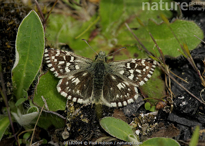 Grizzled Skipper butterfly (Pyrgus malvae), S. Yorks, UK  ,  EUROPE,INSECTS,INVERTEBRATES,LEPIDOPTERA,SKIPPER BUTTERFLIES,SKIPPERS,UK,WINGS,United Kingdom,British,Butterflies,CREWS  ,  Paul Hobson
