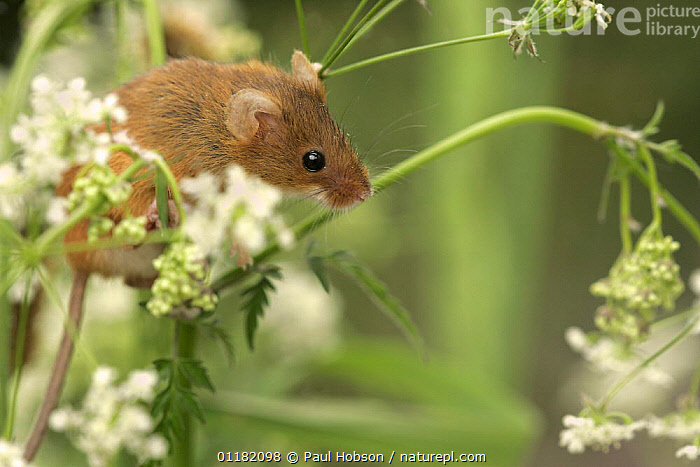 Harvest Mouse (Micromys minutus) adult amongst flowers, S.Yorks, UK Captive  ,  CLIMBING,CUTE,EUROPE,MAMMALS,MICE,PORTRAITS,RODENTS,SUMMER,UK,VERTEBRATES,United Kingdom,British,Muridae  ,  Paul Hobson