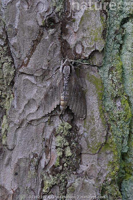 Pine Hawkmoth (Sphinx pinastri) camouflaged on Scots pine bark, Dorset, UK  ,  CAMOUFLAGE, EUROPE, grey, HAWKMOTHS, INSECTS, INVERTEBRATES, LEPIDOPTERA, MOTHS, UK, VERTICAL,United Kingdom  ,  Paul Hobson