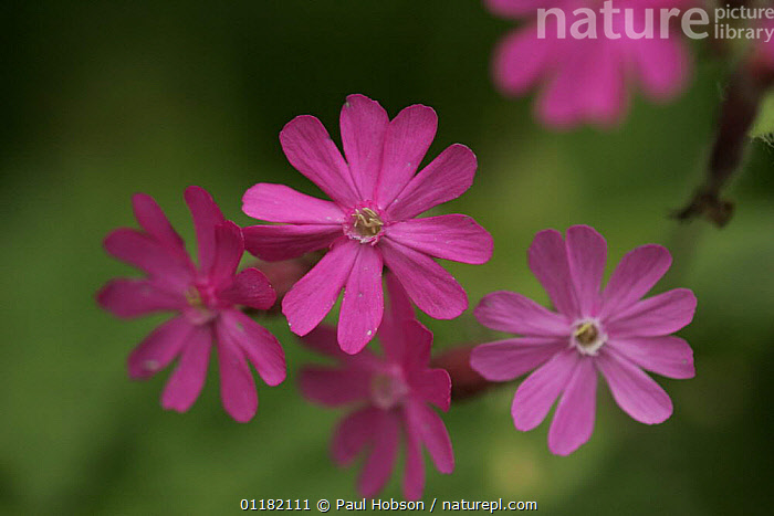 Red Campion (Silene dioica) flowers, Peak District NP, UK  ,  CARYOPHYLLACEAE,DICOTYLEDONS,EUROPE,PINK,PLANTS,RED,RESERVE,UK,United Kingdom,British  ,  Paul Hobson
