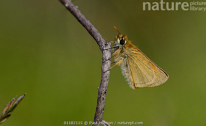 Small Skipper butterfly (Thymelicus sylvestris) on twig, wings closed, Peak District NP, UK  ,  EUROPE,INSECTS,INVERTEBRATES,LEPIDOPTERA,RESERVE,SKIPPER BUTTERFLIES,SKIPPERS,UK,United Kingdom,British,Butterflies,CREWS  ,  Paul Hobson