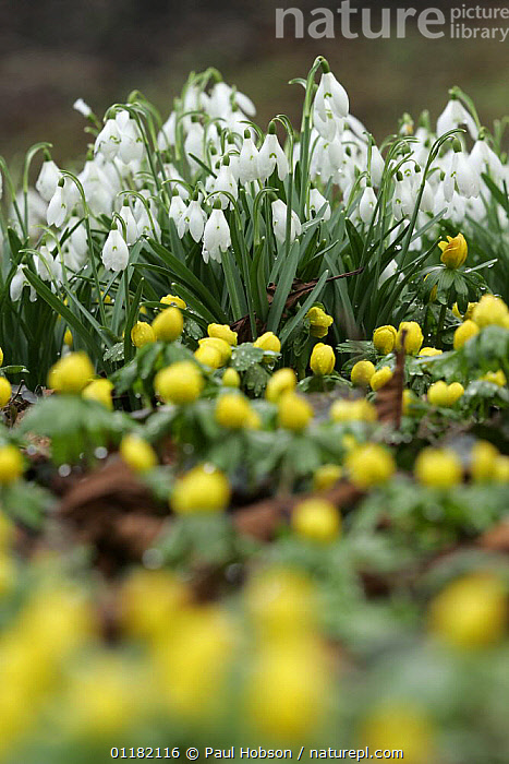 Snowdrop flowers (Galanthus nivalis) and Winter aconite (Eranthis sp), Peak District NP, UK  ,  AMARYLLIDACEAE,EUROPE,FLOWERS,MIXED SPECIES,MONOCOTYLEDONS,PLANTS,RESERVE,SPRING,UK,VERTICAL,United Kingdom,British  ,  Paul Hobson