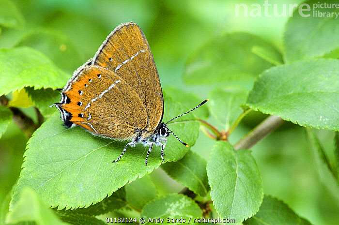 Black Hairstreak Butterfly (Satyrium pruni) at rest with wings closed on Blackthorn. UK. Captive.  ,  British, BUTTERFLIES, EUROPE, INSECTS, INVERTEBRATES, LEPIDOPTERA, UK,United Kingdom  ,  Andy Sands