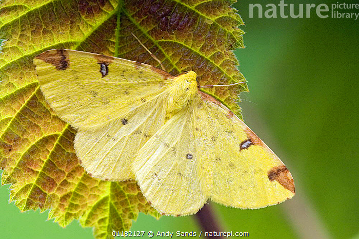 Brimstone Moth (Opisthograptis luteolata) resting with wings open, Hertfordshire, UK  ,  BRITISH,CAMOUFLAGE,EUROPE,INSECTS,INVERTEBRATES,LEPIDOPTERA,LOOPER MOTHS,MOTHS,UK,YELLOW,United Kingdom  ,  Andy Sands