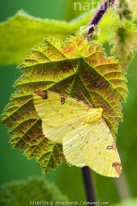 Brimstone Moth (Opisthograptis luteolata) resting with wings open, Hertfordshire, UK  ,  BRITISH,CAMOUFLAGE,EUROPE,INSECTS,INVERTEBRATES,LEPIDOPTERA,LOOPER MOTHS,MOTHS,UK,VERTICAL,YELLOW,United Kingdom  ,  Andy Sands