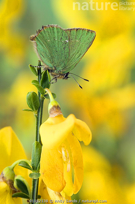 Green Hairstreak Butterfly (Callophrys rubi) at rest on Broom. UK. Captive.  ,  BRITISH,BUTTERFLIES,EUROPE,FLOWERS,HEATHLAND,INSECTS,INVERTEBRATES,LEPIDOPTERA,UK,UNITED KINGDOM,VERTICAL,YELLOW  ,  Andy Sands