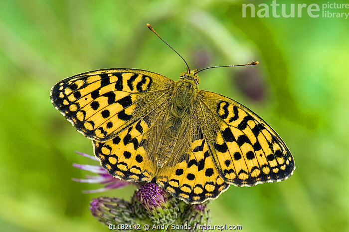 High Brown Fritillary Butterfly (Argynnis adippe) sunning on thistle. UK. Captive.  ,  BRITISH,BUTTERFLIES,EUROPE,INSECTS,INVERTEBRATES,LEPIDOPTERA,UK,UNITED KINGDOM  ,  Andy Sands
