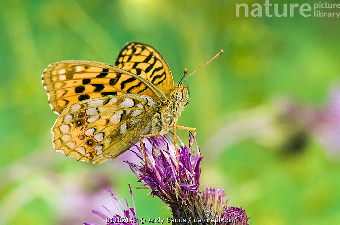 High Brown Fritillary Butterfly (Argynnis adippe) on thistle. UK. Captive.  ,  BRITISH,BUTTERFLIES,EUROPE,INSECTS,INVERTEBRATES,LEPIDOPTERA,UK,UNITED KINGDOM  ,  Andy Sands