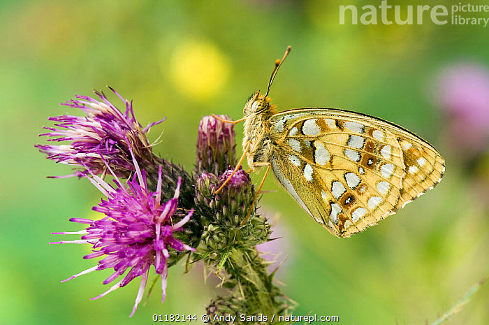 High Brown Fritillary Butterfly (Argynnis adippe) on thistle. UK. Captive.  ,  BRITISH,BUTTERFLIES,EUROPE,FLOWERS,INSECTS,INVERTEBRATES,LEPIDOPTERA,UK,UNITED KINGDOM  ,  Andy Sands