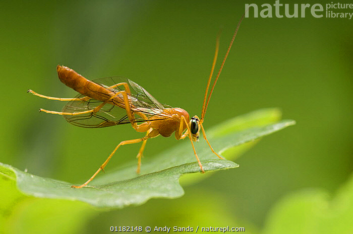 Ichneumon Wasp (Ophion luteus) cleaning wings with back legs on Oak leaf. UK. Captive.  ,  BEHAVIOUR,BRITISH,EUROPE,GROOMING,HYMENOPTERA,INSECTS,INVERTEBRATES,PARASITIC WASPS,PORTRAITS,PREENING,PROFILE,UK,UNITED KINGDOM  ,  Andy Sands