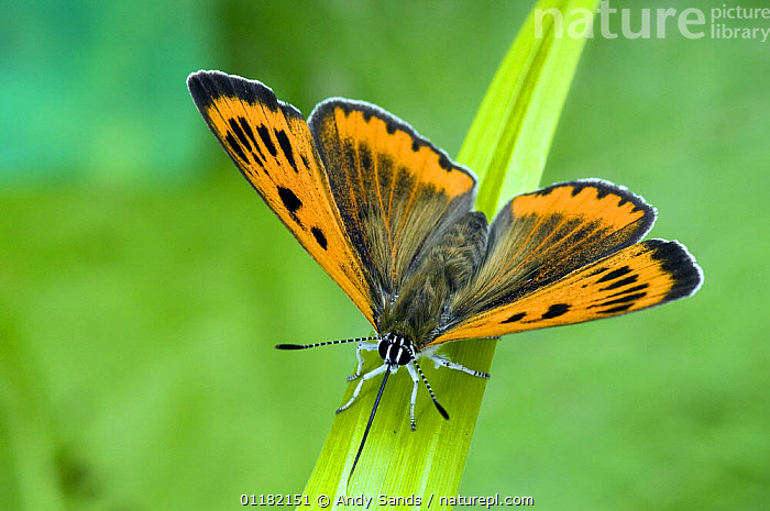 Large Copper Butterfly (Lucaena dispar) Wings open with proboscis fully extended drinking moisture from leaf. UK. Captive.  ,  BEHAVIOUR,BRITISH,BUTTERFLIES,EUROPE,INSECTS,INVERTEBRATES,LEPIDOPTERA,UK,UNITED KINGDOM, United Kingdom, United Kingdom, United Kingdom,Catalogue1  ,  Andy Sands