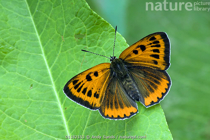 Large Copper Butterfly (Lucaena dispar) With wings open on Dock leaf. UK. Captive.  ,  BRITISH,BUTTERFLIES,EUROPE,INSECTS,INVERTEBRATES,LEPIDOPTERA,UK,UNITED KINGDOM  ,  Andy Sands