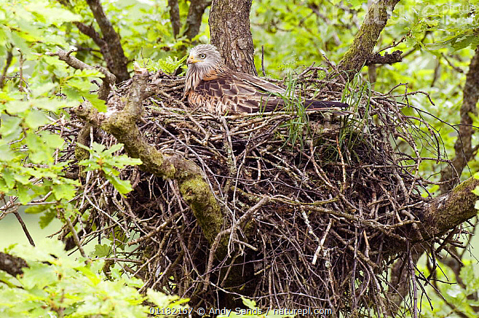 Red Kite (Milvus milvus) incubating eggs on nest, Wales, UK  ,  BIRDS,BIRDS OF PREY,BRITISH,EUROPE,KITES,NESTS,UK,UNITED KINGDOM,VERTEBRATES,WALES,WOODLANDS  ,  Andy Sands