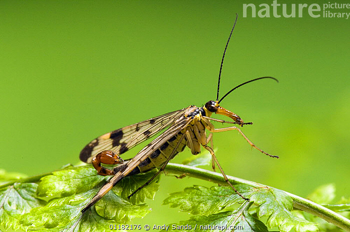 Common Scorpion Fly (Panorpa communis) about to take off. UK. Captive.  ,  ARTHROPODS,BRITISH,EUROPE,FLYING,INSECTS,INVERTEBRATES,MECOPTERA,SCORPION FLIES,SCORPIONFLY,TAKE OFF,UK,UNITED KINGDOM  ,  Andy Sands