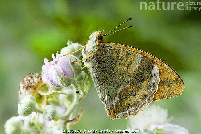 Silver washed fritillary (Argynnis paphia) On bramble flower with wings closed. UK. Captive.  ,  ARTHROPODS,BRITISH,BUTTERFLIES,EUROPE,INSECTS,INVERTEBRATES,LEPIDOPTERA,UK,UNITED KINGDOM  ,  Andy Sands