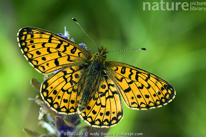 Small pearl bordered Fritillary butterfly (Boloria selene) basking on Bugle flower with wings open. UK. Captive  ,  ARTHROPODS, British, BUTTERFLIES, EUROPE, INSECTS, INVERTEBRATES, LEPIDOPTERA, UK, united-kingdom,United Kingdom  ,  Andy Sands