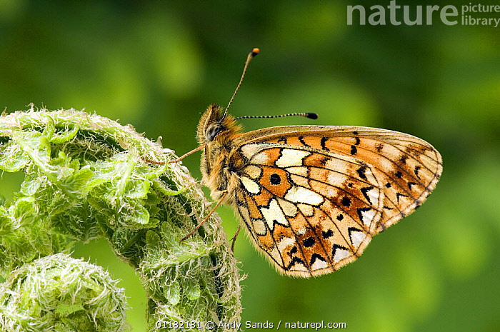 Small pearl bordered Fritillary (Boloria selene) At rest with wings closed. UK. Captive  ,  ARTHROPODS, British, BUTTERFLIES, EUROPE, INSECTS, INVERTEBRATES, LEPIDOPTERA, UK, united-kingdom,United Kingdom  ,  Andy Sands