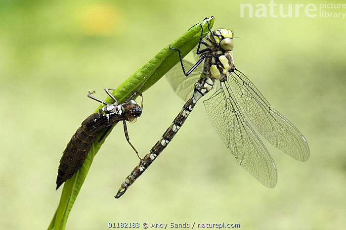 Southern Hawker Dragonfly (Aeshna cyanea) Newly emerged adult next to larval case, West Sussex, UK  ,  ARTHROPODS,BRITISH,DRAGONFLIES,EUROPE,INSECTS,INVERTEBRATES,LARVAE,METAMORPHOSIS,ODONATA,UK,UNITED KINGDOM,Growth,Concepts  ,  Andy Sands