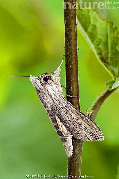 Shark moth (Cucullia umbratica) at rest wings closed. UK. Captive.  ,  BRITISH,EUROPE,INSECTS,INVERTEBRATES,LEPIDOPTERA,NOCTUID MOTHS,UK,UNITED KINGDOM,VERTICAL,Sharks,Fish, Fish  ,  Andy Sands