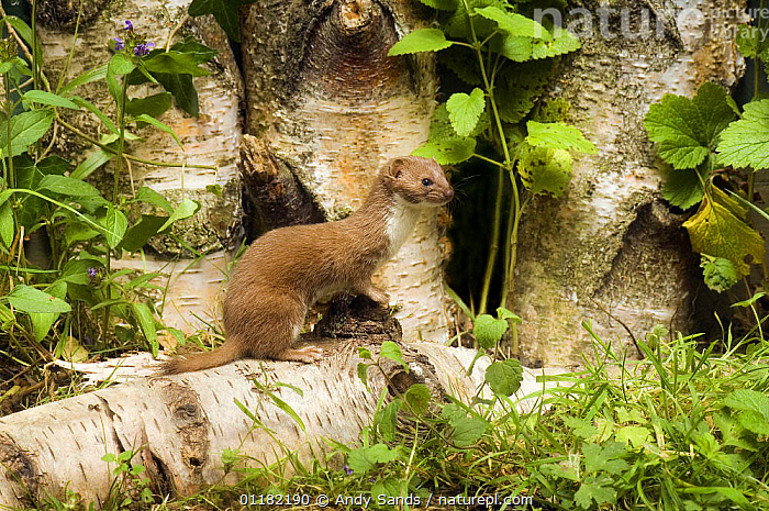 Weasel (Mustela nivalis) On Birch log. UK. Captive.  ,  BRITISH,CARNIVORES,EUROPE,MAMMALS,MUSTELIDS,UK,UNITED KINGDOM,VERTEBRATES,WEASELS  ,  Andy Sands
