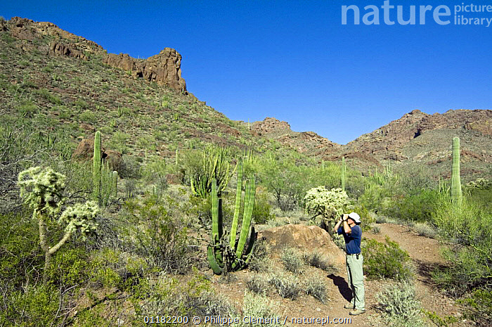 Birdwatcher hiking in the Ajo Mountain Range among different species of cacti, Organ Pipe National Monument, Arizona, USA May 2007  ,  CACTACEAE,CACTUS,DESERTS,LANDSCAPES,NORTH AMERICA,NORTH AMERICA,PEOPLE,PLANTS,RESERVE,USA  ,  Philippe Clement