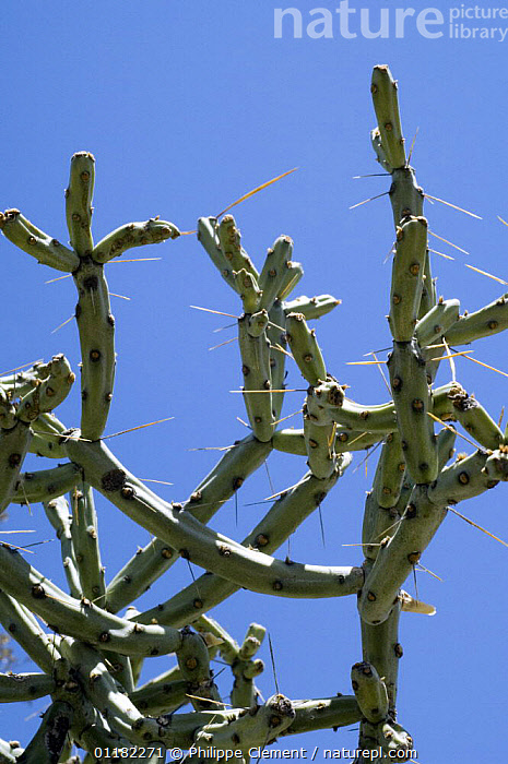 Pencil Cholla (Cylindropuntia  / Opuntia arbuscula), Saguaro NP, Arizona, USA  ,  CACTACEAE,CACTI,CACTUS,DICOTYLEDONS,NORTH AMERICA,PLANTS,RESERVE,SPINES,USA,VERTICAL  ,  Philippe Clement
