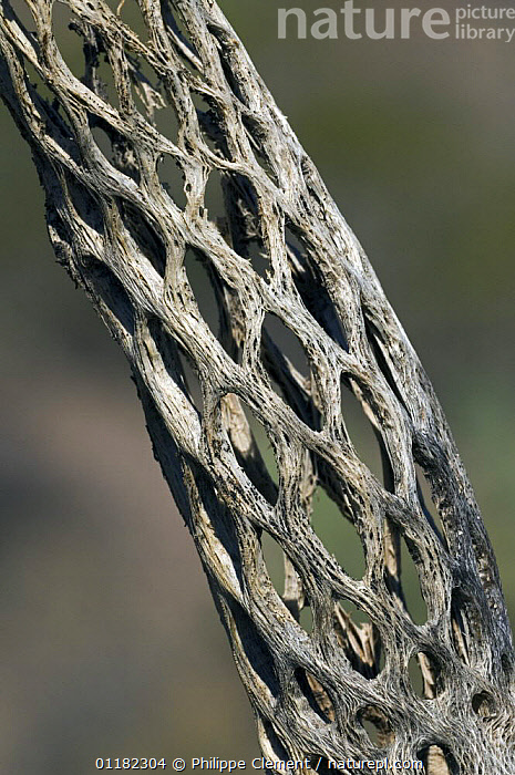 Cholla cactus skeleton {Cylindropuntia sp.} showing wooden tubular supporting structure with oval openings, Sonoran desert, Arizona, USA  ,  CACTACEAE,CACTUS,DICOTYLEDONS,NORTH AMERICA,PATTERNS,PLANTS,RESERVE,USA,VERTICAL  ,  Philippe Clement