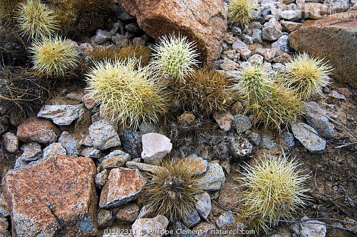 Loose joints of the Teddybear Cholla {Opuntia / Cylindropuntia bigelovii} drop readily and attach easily to passing animals, Organ Pipe National Monument, Arizona, USA  ,  CACTACEAE, CACTI, CACTUS, DESERTS, DICOTYLEDONS, DISPERSAL, north america, PLANTS, RESERVE, ROCKS, USA,,Dispersal,  ,  Philippe Clement