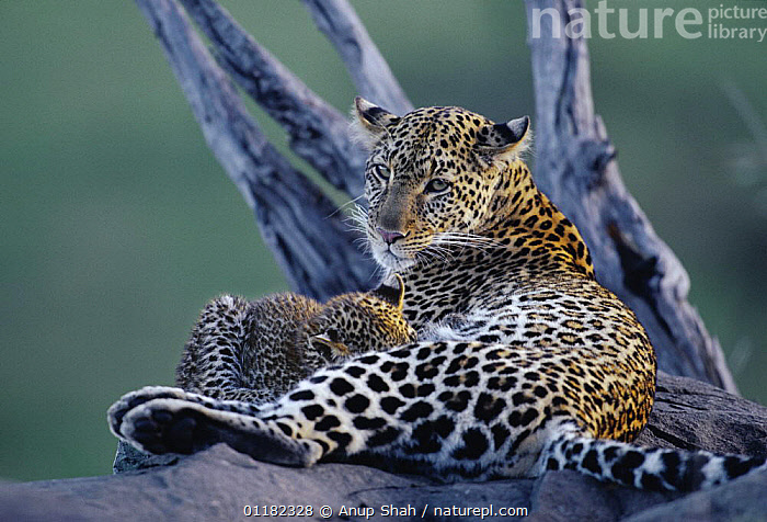 Leopard {Panthera pardus} with young suckling, Serengeti NP, Tanzania  ,  BABIES,BABY,BIG CATS,CARNIVORES,East Africa,FEEDING,LEOPARDS,MAMMALS,MOTHER,parental behaviour,PORTRAITS,RESERVE,tanzania,VERTEBRATES,Africa,,Serengeti National Park, UNESCO World Heritage Site,  ,  Anup Shah