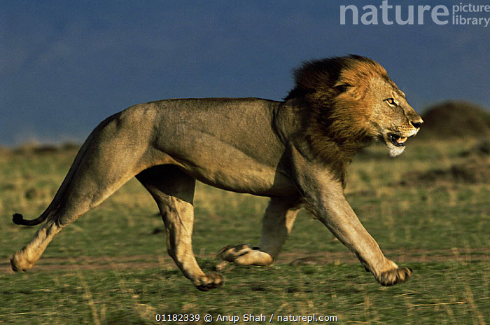 Male African lion {Panthera leo} trotting across his territory to see of an intruder, Masai Mara GR, Kenya. Lions can run at speeds of 50mph!  ,  BEHAVIOUR,BIG CATS,CARNIVORES,East Africa,LIONS,MAMMALS,MOVEMENT,PROFILE,RESERVE,RUNNING,SAVANNA,VERTEBRATES,Africa,Grassland  ,  Anup Shah