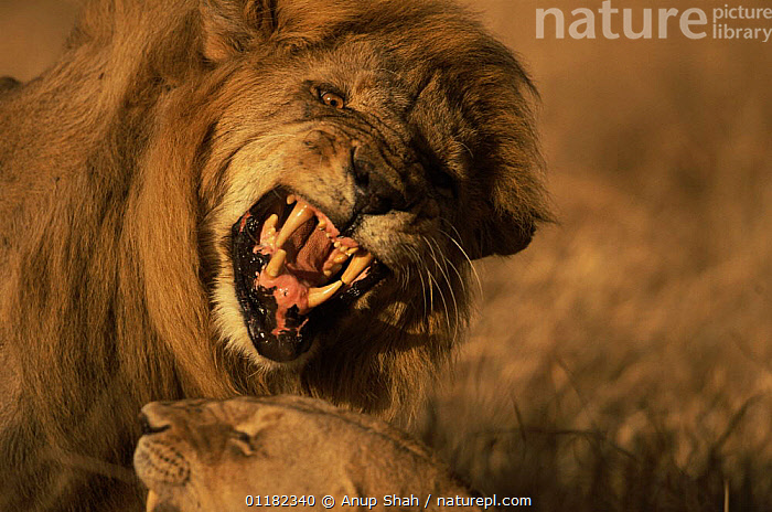 African lion {Panthero leo} mating pair, male snarling, Serengeti NP, Tanzania  ,  AGGRESSION,BIG CATS,CARNIVORES,East Africa,LIONS,male female pair,MAMMALS,mating behaviour,RESERVE,tanzania,TEETH,VERTEBRATES,VOCALISATION,Africa,Concepts,Reproduction,,Serengeti National Park, UNESCO World Heritage Site,  ,  Anup Shah