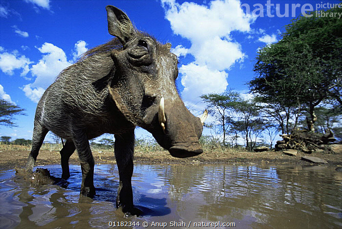 Low angle Warthog {Phacochoerus aethiopicus} about to wallow in mud, Serengeti NP, Tanzania  ,  ARTIODACTYLA,BATHING,East Africa,HOGS,MAMMALS,pool,PORTRAITS,RESERVE,SUIDS,tanzania,VERTEBRATES,WATER,Africa,Catalogue1,,Serengeti National Park, UNESCO World Heritage Site,  ,  Anup Shah