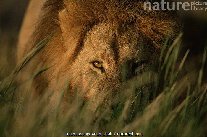 African lion {Panthera leo} male watching through grass, Serengeti NP, Tanzania  ,  BIG CATS,CARNIVORES,East Africa,EYES,hiding,LIONS,MALES,MAMMALS,PORTRAITS,RESERVE,tanzania,VERTEBRATES,Africa,Catalogue1,,Serengeti National Park, UNESCO World Heritage Site,  ,  Anup Shah