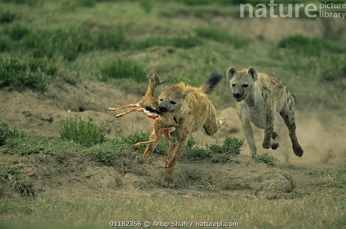 Spotted hyaena {Crocuta crocuta} with Gazelle fawn that had been killed by a Jackal, being chased by another Hyaena, Serengeti NP, Tanzania  ,  ACTION,ARTIODACTYLA,BABIES,BEHAVIOUR,CARNIVORES,DEATH,East Africa,HORRIFIC,HYAENAS,MAMMALS,PREDATION,RESERVE,RUNNING,SCAVENGING,tanzania,VERTEBRATES,Africa,,Serengeti National Park, UNESCO World Heritage Site,  ,  Anup Shah